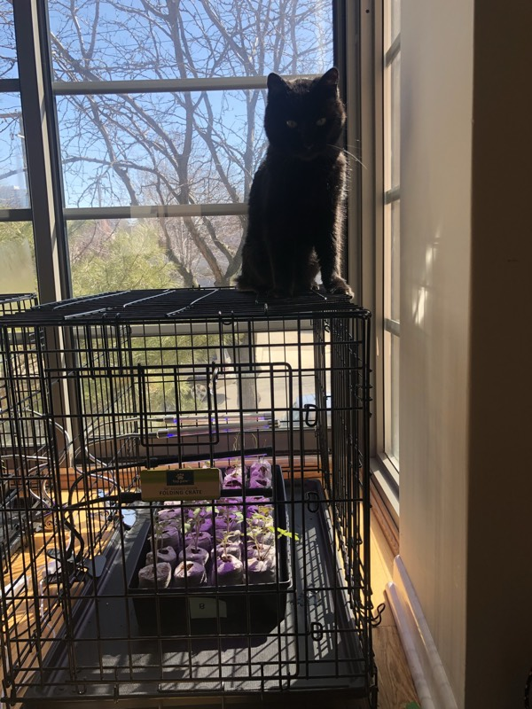 A photo of a dog cage with seedlings growing in it. A black cat is sitting on top of the cage.